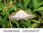 the box tree moth   Shutterstock . vector #1201316737