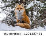 Red Fox Sitting With Tail In...