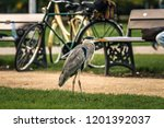A Grey Heron Stands Next To A...