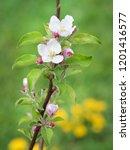 blooming apple tree in spring... | Shutterstock . vector #1201416577