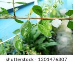 water drops on green leaves on... | Shutterstock . vector #1201476307