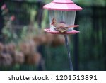 female northern cardinal... | Shutterstock . vector #1201513891