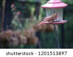 female northern cardinal... | Shutterstock . vector #1201513897