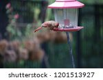 female northern cardinal... | Shutterstock . vector #1201513927