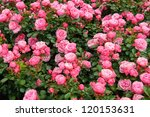 Stock photo pink roses 120153631