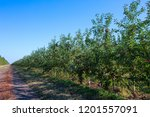 Fruit Apple Orchard With Ripe...