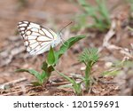 Small photo of The Pioneer White or African Caper White (Belenois aurota)also known as the Brown-veined White Butterfly