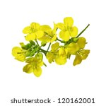 Stock photo rapeseed blossoms brassica napus flower isolated on white background 120162001