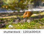 big mushroom grow in moss.... | Shutterstock . vector #1201630414