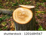 Tree Rings On Stump Of Thirty...