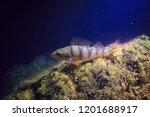 river perch underwater photo  ... | Shutterstock . vector #1201688917