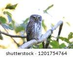 eurasian pygmy owl swabian jura ...   Shutterstock . vector #1201754764