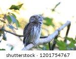 eurasian pygmy owl swabian jura ...   Shutterstock . vector #1201754767