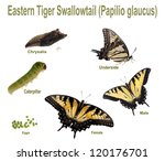 Eastern Tiger Swallowtail. Lif...