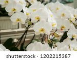 greenhouse with orchids. | Shutterstock . vector #1202215387