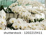 greenhouse with orchids. | Shutterstock . vector #1202215411