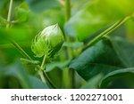 cotton field   india | Shutterstock . vector #1202271001