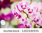 pink phalaenopsis or moth... | Shutterstock . vector #1202330554
