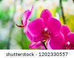 pink phalaenopsis or moth... | Shutterstock . vector #1202330557