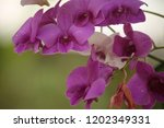 close up  thai  orchid in... | Shutterstock . vector #1202349331
