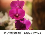 close up  thai  orchid in... | Shutterstock . vector #1202349421