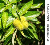 chestnuts on a tree | Shutterstock . vector #1202394991