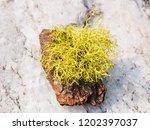 lichen  close up | Shutterstock . vector #1202397037