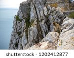 the famous apes of gibraltar ... | Shutterstock . vector #1202412877