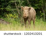 indian boar  sus scrofa... | Shutterstock . vector #1202413201
