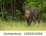 indian boar  sus scrofa... | Shutterstock . vector #1202413204