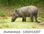 indian boar  sus scrofa... | Shutterstock . vector #1202413207