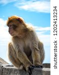the famous apes of gibraltar ... | Shutterstock . vector #1202413234