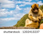 the famous apes of gibraltar ... | Shutterstock . vector #1202413237