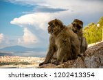 the famous apes of gibraltar ... | Shutterstock . vector #1202413354