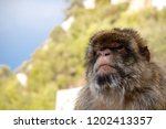 the famous apes of gibraltar ... | Shutterstock . vector #1202413357
