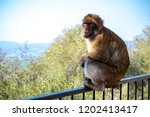 the famous apes of gibraltar ... | Shutterstock . vector #1202413417