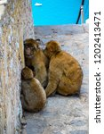 the famous apes of gibraltar ... | Shutterstock . vector #1202413471