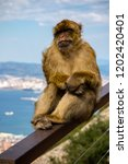 the famous apes of gibraltar ... | Shutterstock . vector #1202420401
