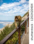 the famous apes of gibraltar ... | Shutterstock . vector #1202420404