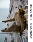 the famous apes of gibraltar ... | Shutterstock . vector #1202420431