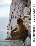 the famous apes of gibraltar ... | Shutterstock . vector #1202420434