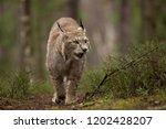 eurasian lynx also known as...   Shutterstock . vector #1202428207