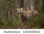 eurasian lynx also known as...   Shutterstock . vector #1202428231