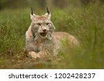 eurasian lynx also known as...   Shutterstock . vector #1202428237