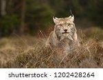 eurasian lynx also known as...   Shutterstock . vector #1202428264