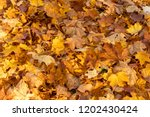 forest floor covered with dry... | Shutterstock . vector #1202430424