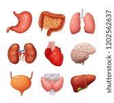 human internal organs. stomach... | Shutterstock .eps vector #1202562637