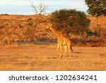 the south african girrafe ... | Shutterstock . vector #1202634241
