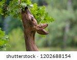 Roe Deer Eating Acorns From The ...