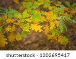 closeup red oak tree branch in... | Shutterstock . vector #1202695417